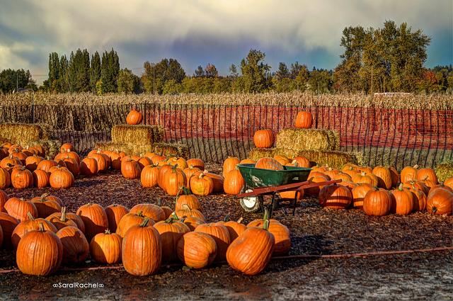 pumpkin patch, pumpkins, corn stalks, auburn wa, auburn farm, farms, auburn washington, city of auburn, auburn farm, hay bails