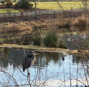 blue heron, auburn wa, trail run, auburn washington