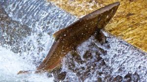 salmon hatchery, salmon, samon, salmon ladder,