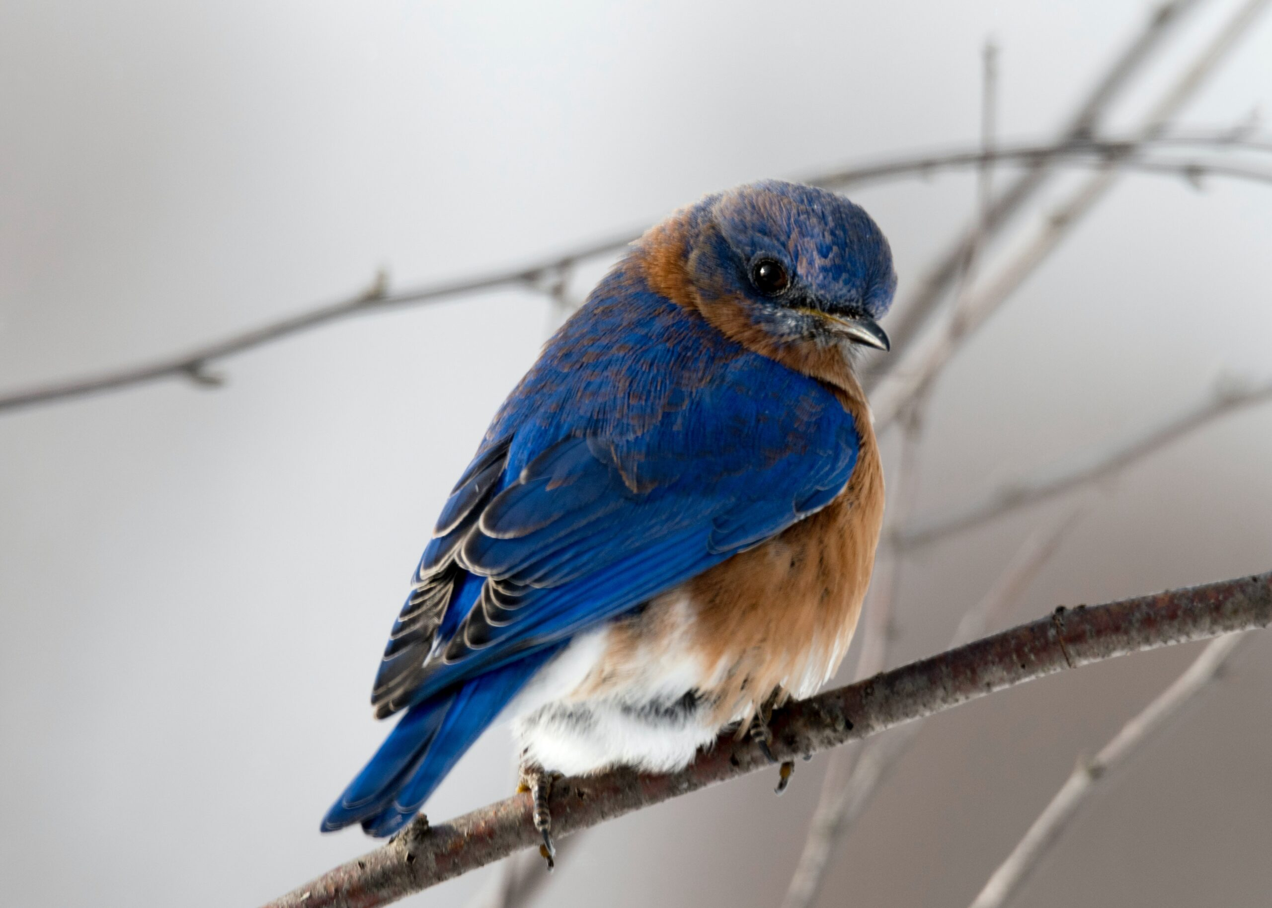 A blue and brown songbird on a branch