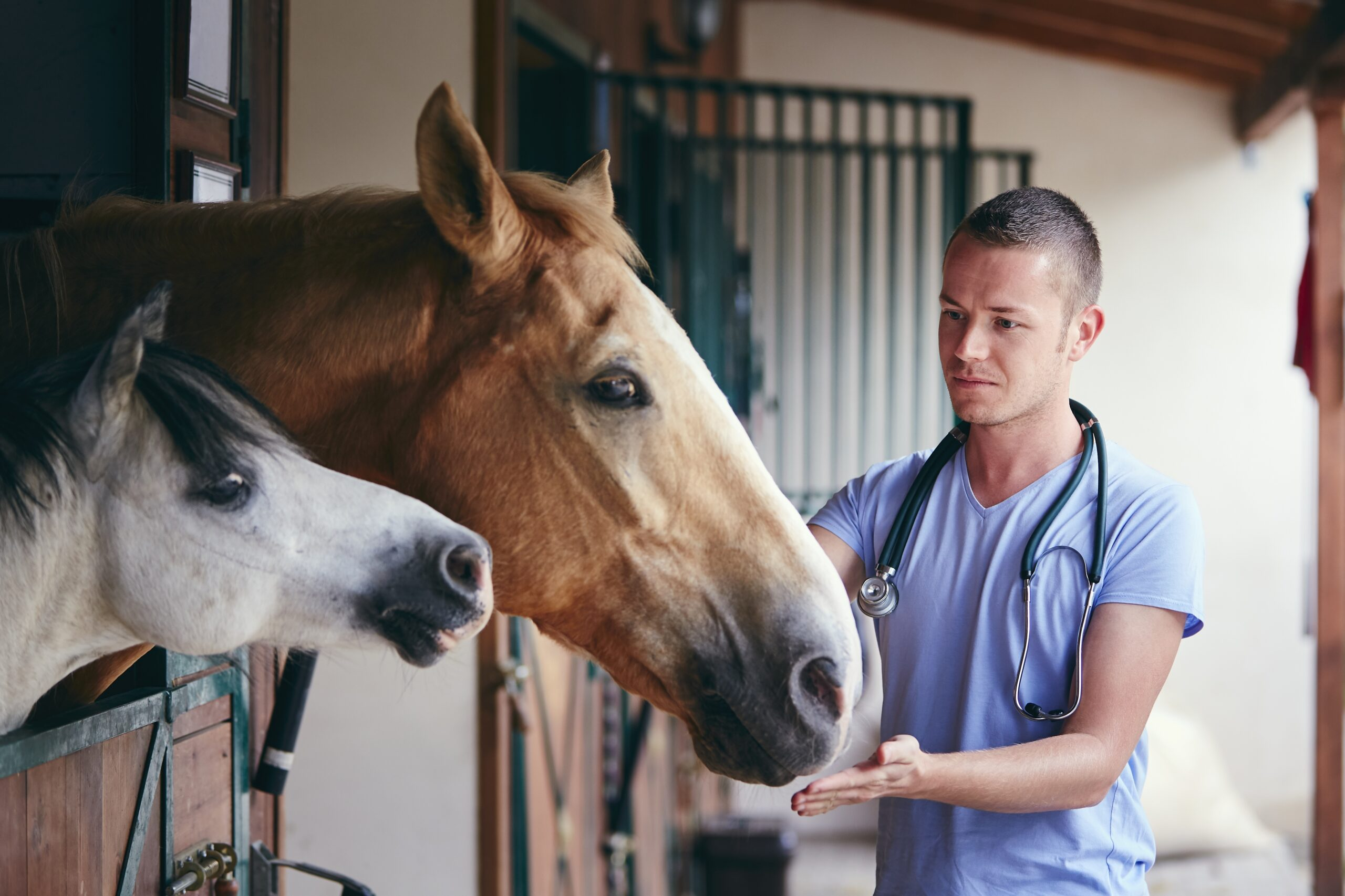Veterinarian during medical care of horses in stables.