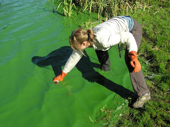 A female wearing tall wading boots steps into a lake covered in bright green algae. She is reaching into the water, wearing orange gloves, to take a sample.